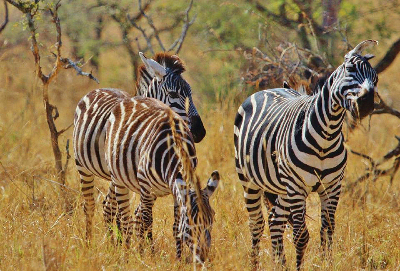 prairie-adventure-animal-wildlife-africa-mammal-fauna-savanna-zebra-grassland-tanzania-safari-serengeti-baby-zebra-nature-serengeti-horse-like-mammal-1342933
